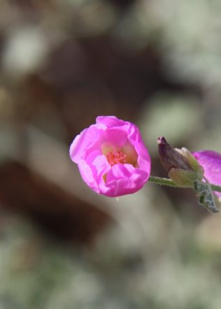 Pink Globemallow Bloom