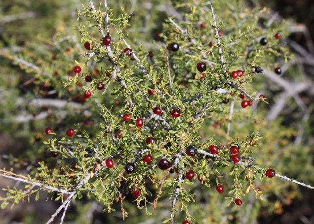 Bitter Condalia with Fruit Condalia globosa