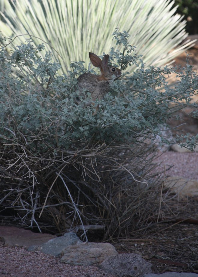Shrub-climbing Desert Cottontail