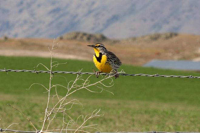 Western Meadowlark - Bird on a Wire (Sturnella neglecta)