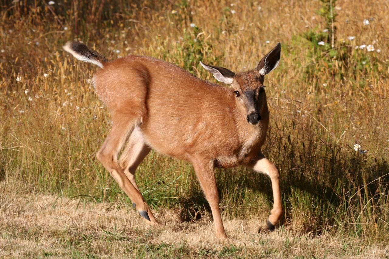 Columbia Black-tailed Deer (Odocoileus hemionus columbianus)