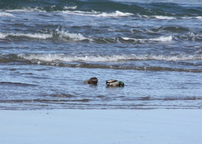 Mallards in the Surf