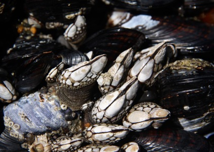 Mussels and Gooseneck Barnacles