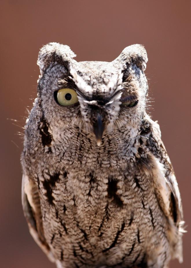 Western Screech Owl - Winking