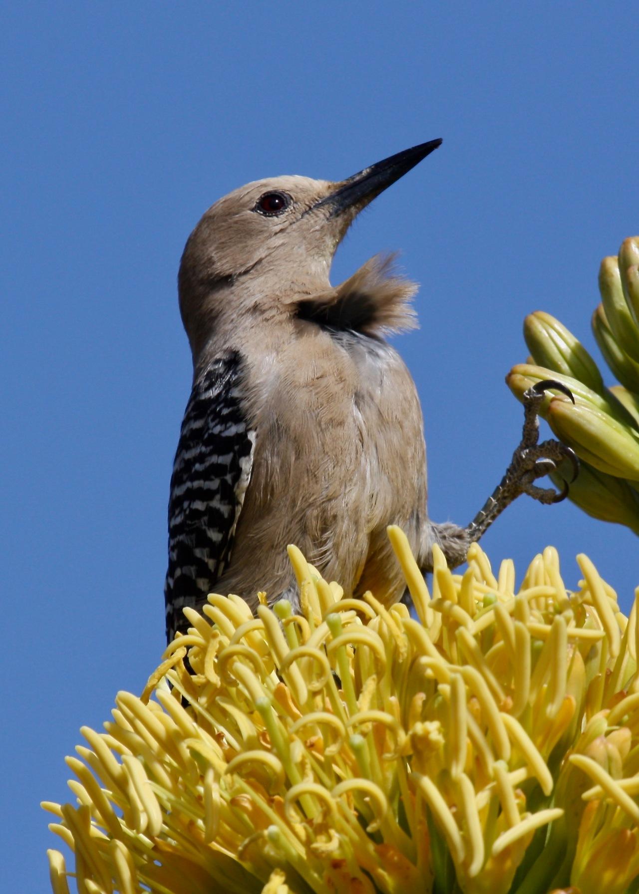 Gila Woodpecker2 ASDM Tucson AZ 04-2012