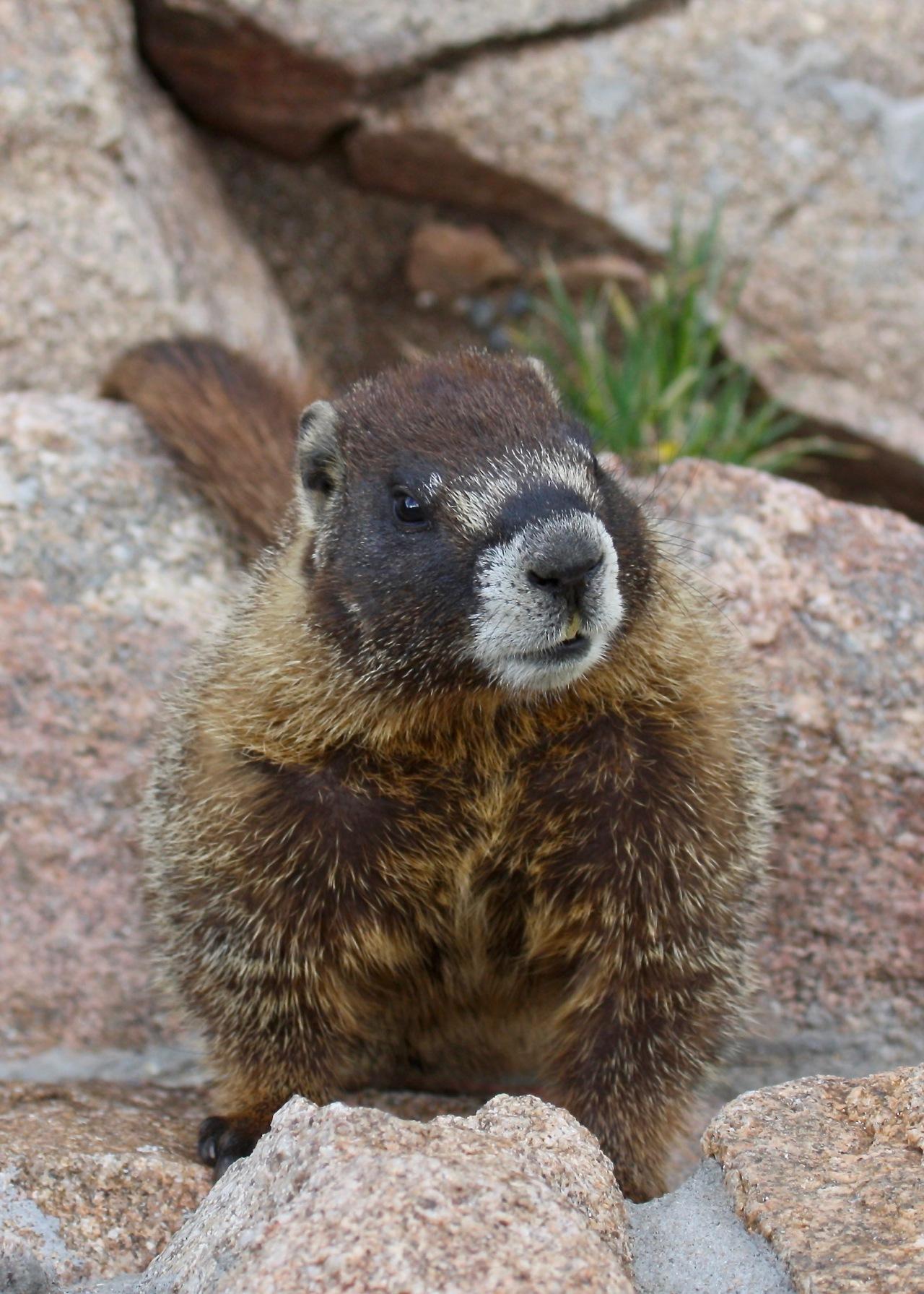 Curious Marmot (Marmota flaviventris)