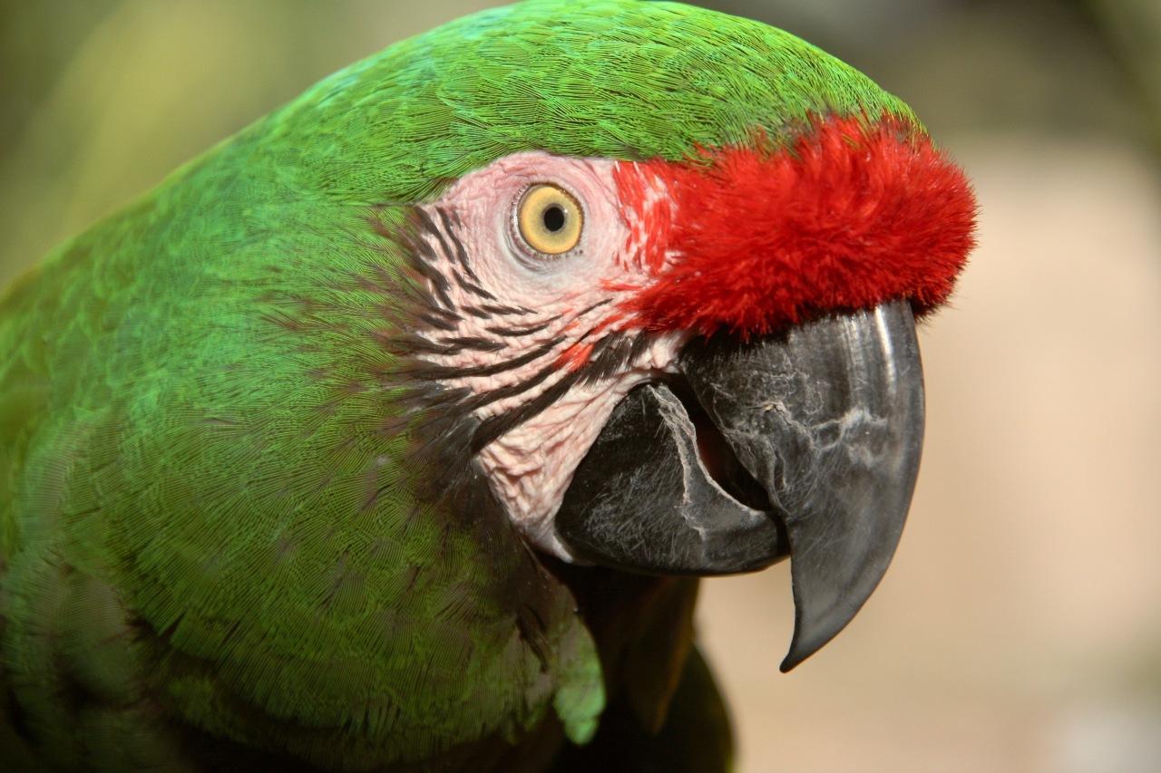 Parrot ASDM Tucson AZ 02-2015