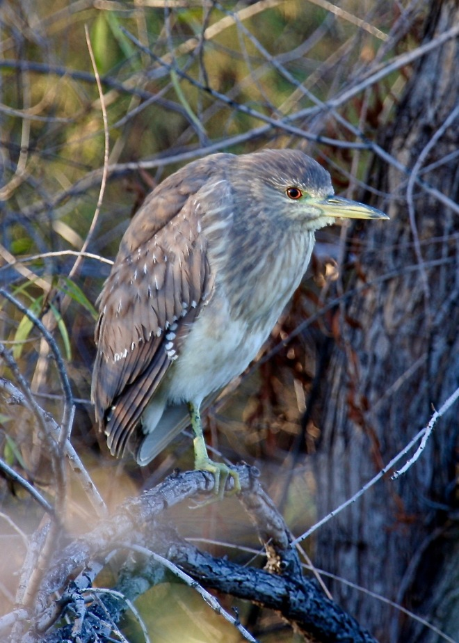 Black-crowned Night-Heron juvi SW AZ 11-2007