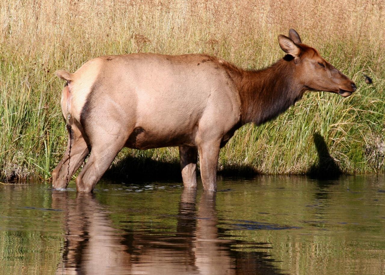 Elk (Cervus canadensis) Ahhhh, what a relief!