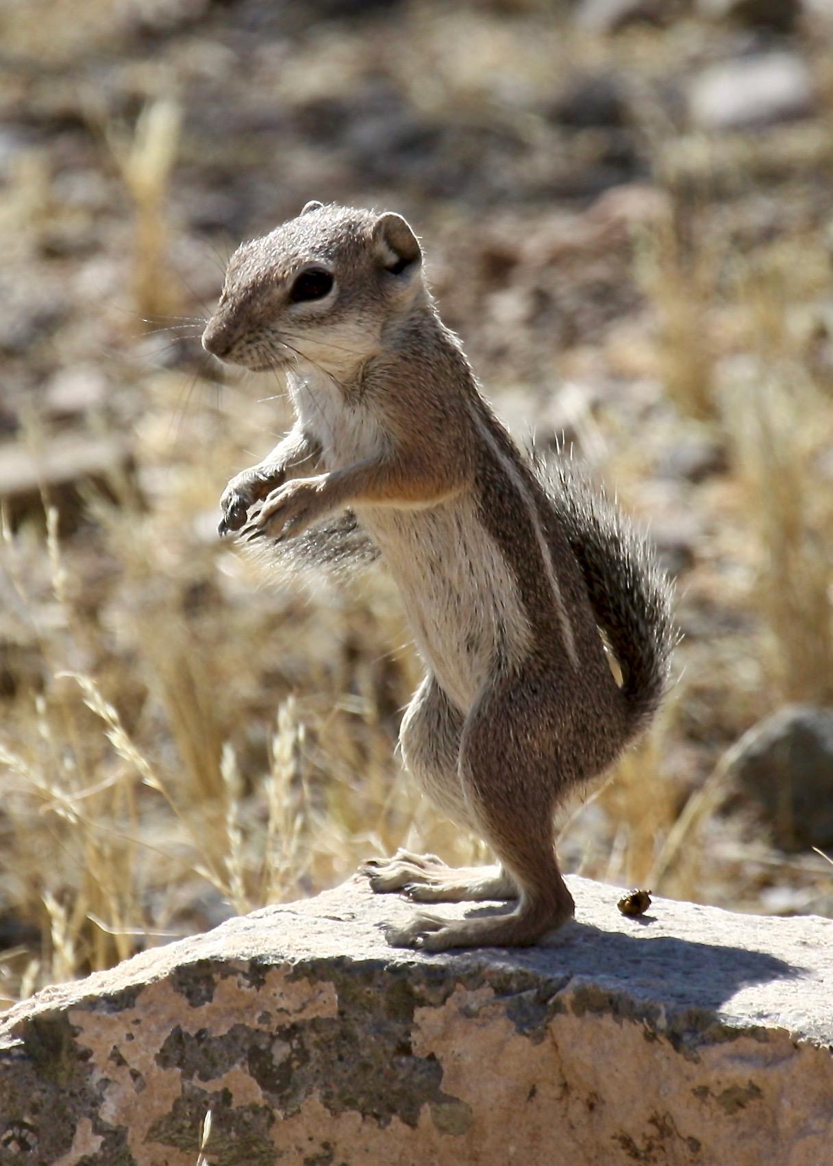 Harris Antelope Ground Squirrel3 RS Tucson AZ 06-2010