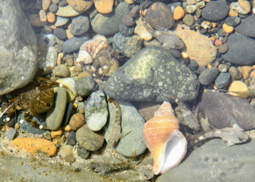 Teeming with Life: 2 Hermit Crabs, 10 Tidepool Sculpins
