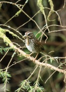 Song Sparrow with Baby Food