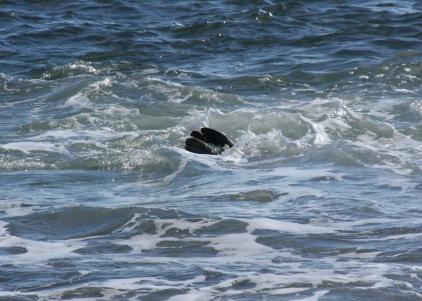 Harbor Seal Feet