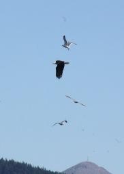 Bald Eagle Joins the Feeding Frenzy