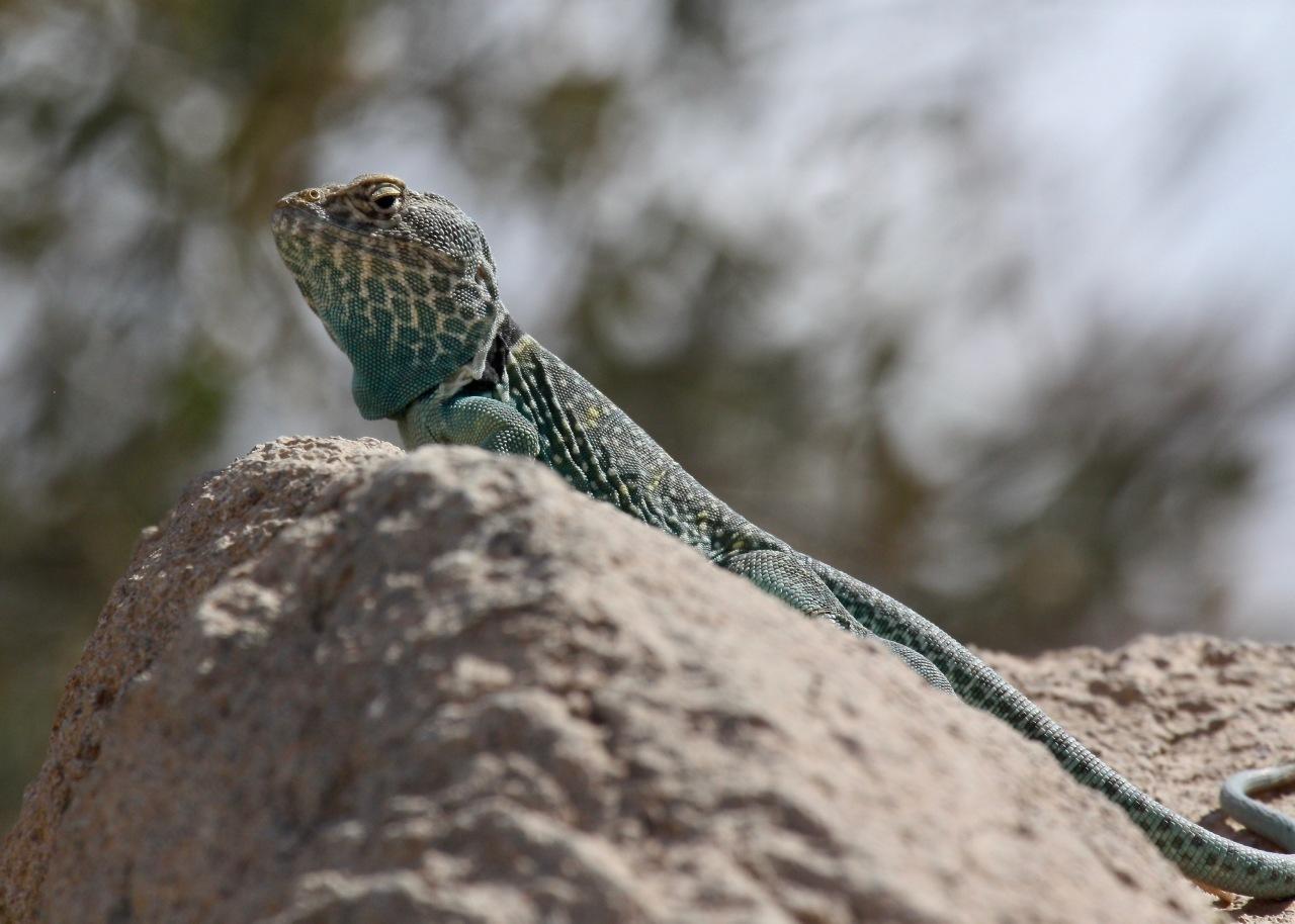 Lizard2 ASDM Tucson AZ 03-2014