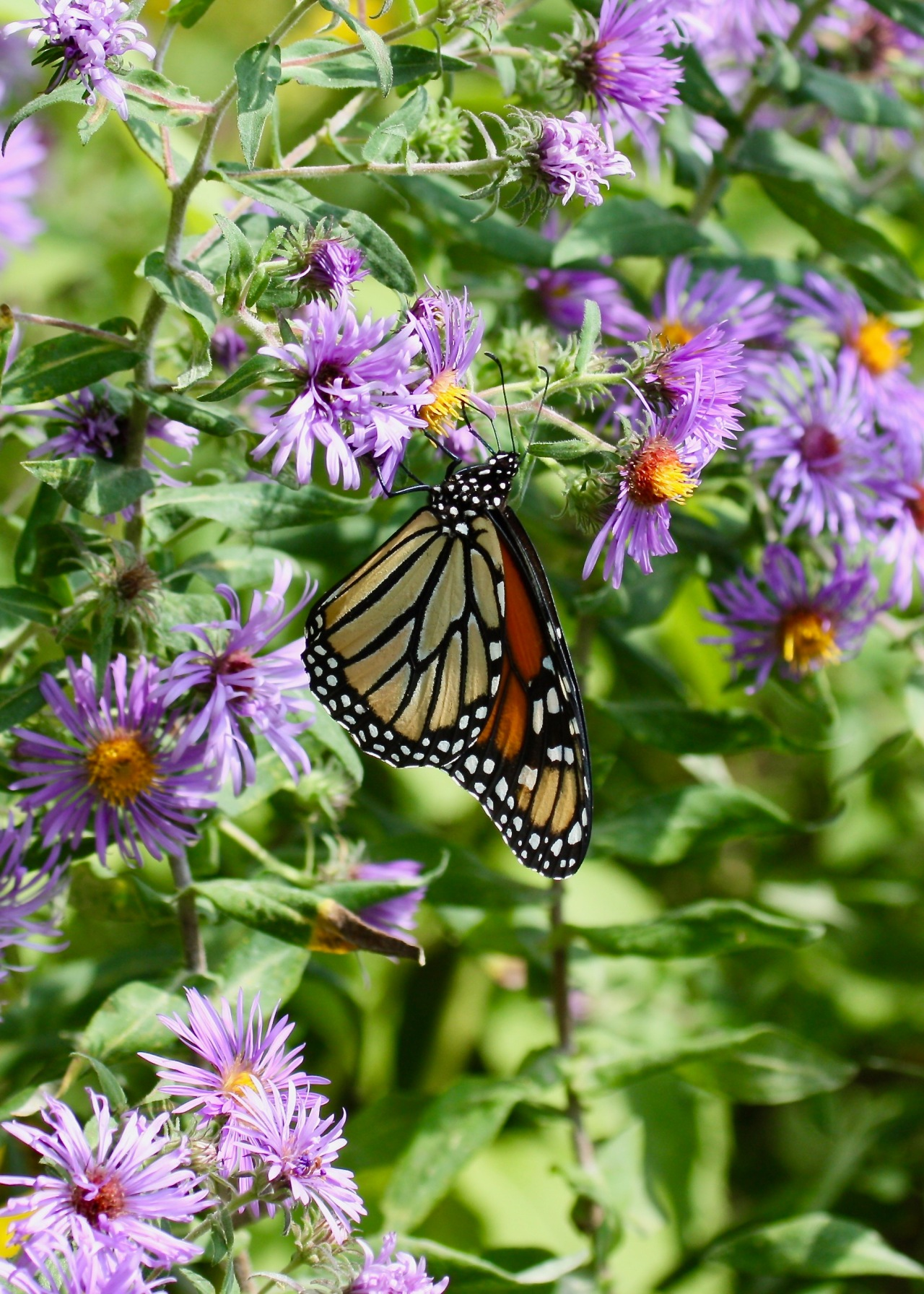 Monarch Butterfly Hoover NHS IA 09-2009