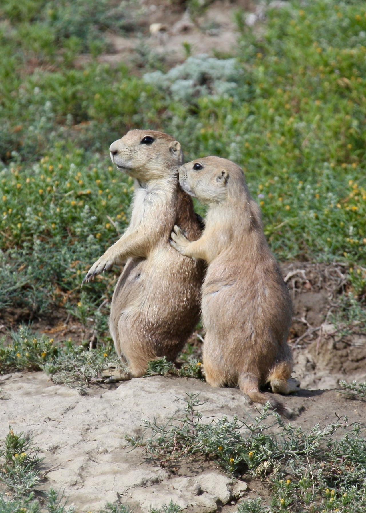 Prairie Dog Kisses Black-tailed Prairie Dog (Cynomys ludovicianus)