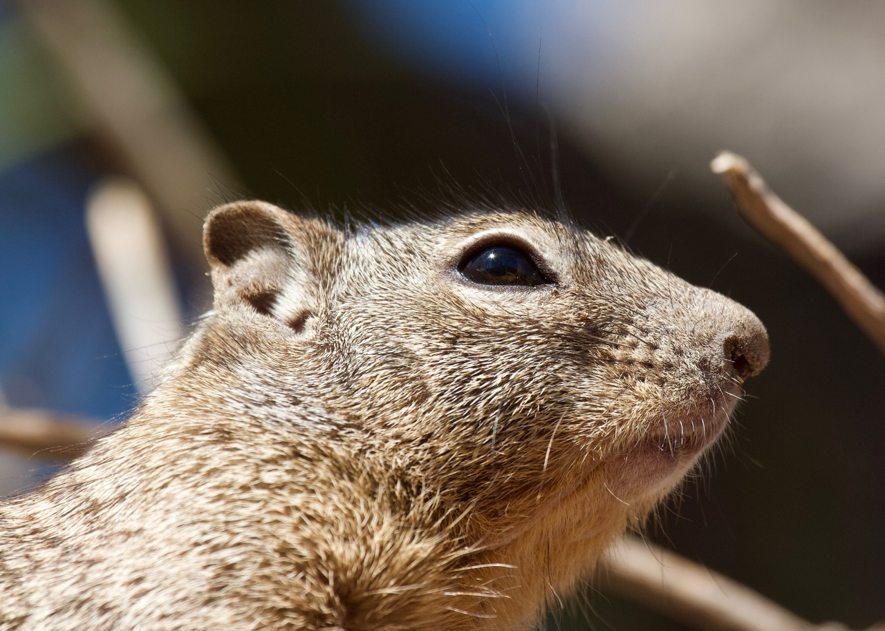 Rock Squirrel ASDM Tucson AZ 02-2015