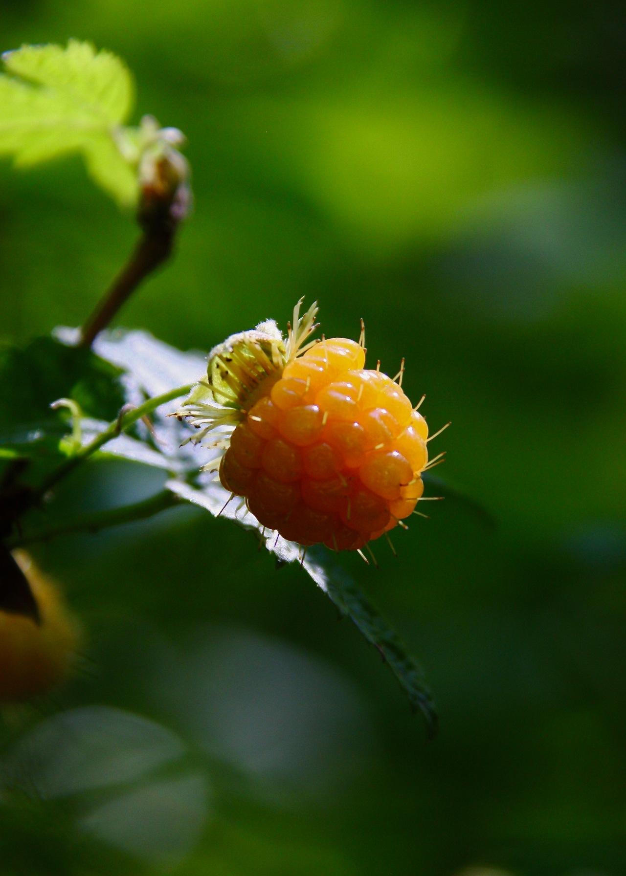 Salmonberry Portland OR 06-2012