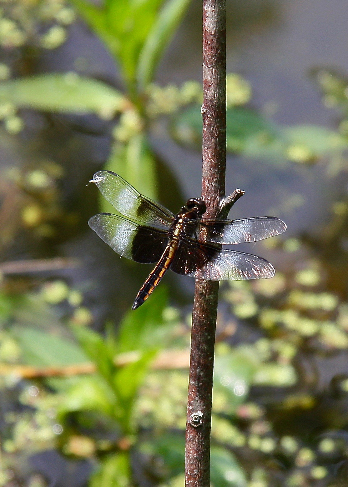 Dragonfly2 Cuyahoga Valley NP OH 07-2011