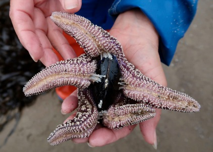 Ochre Sea Star Working on Opening a California Mussel