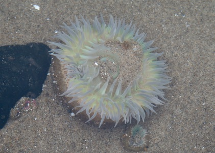 Moonglow Anemone (Anthopleura artemisia)