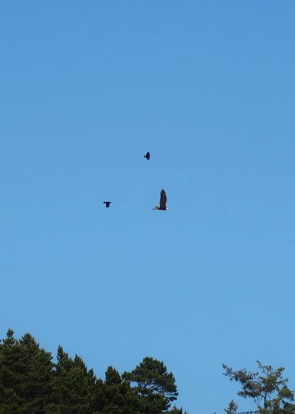 Chasing a Bald Eagle