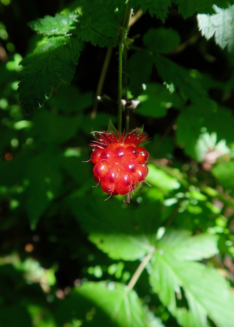 Salmonberry - red