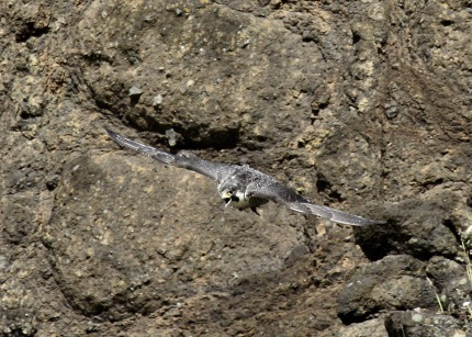 Peregrine Falcon (mom with food)