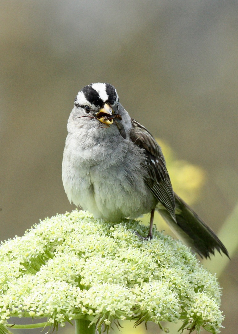 White-crowned Sparrow with Bug