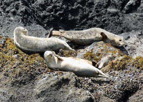 Harbor Seals Chillaxin'