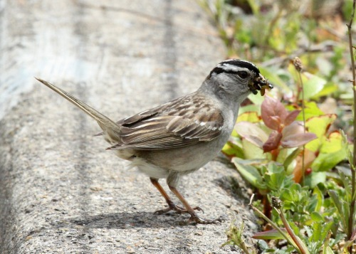 White-crowned Sparrow with Bugs