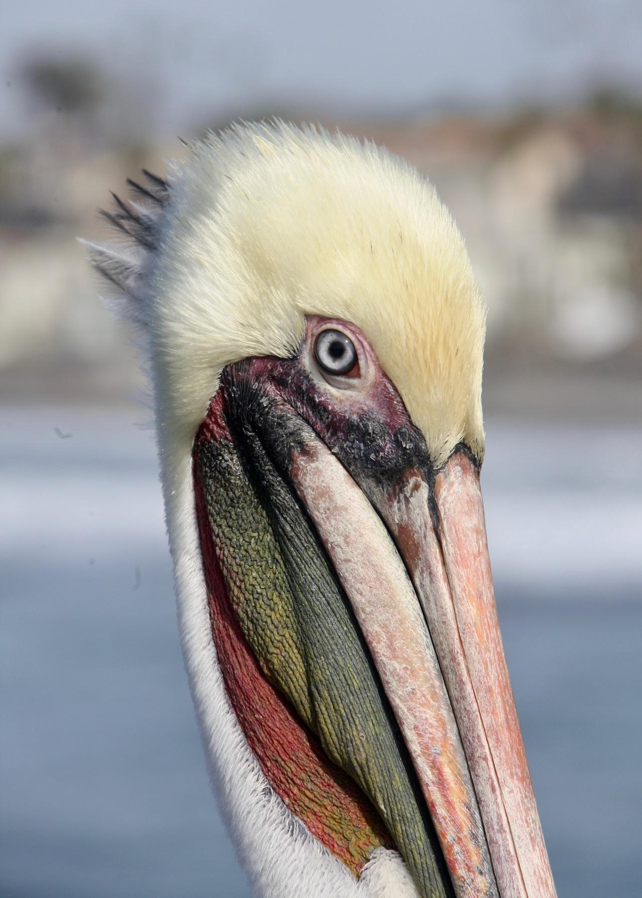 Pelican head Oceanside CA 12-2015