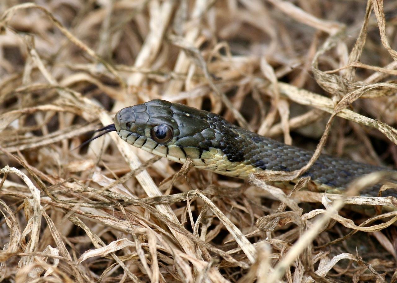 Snake Whelan Lake CA 03-2008