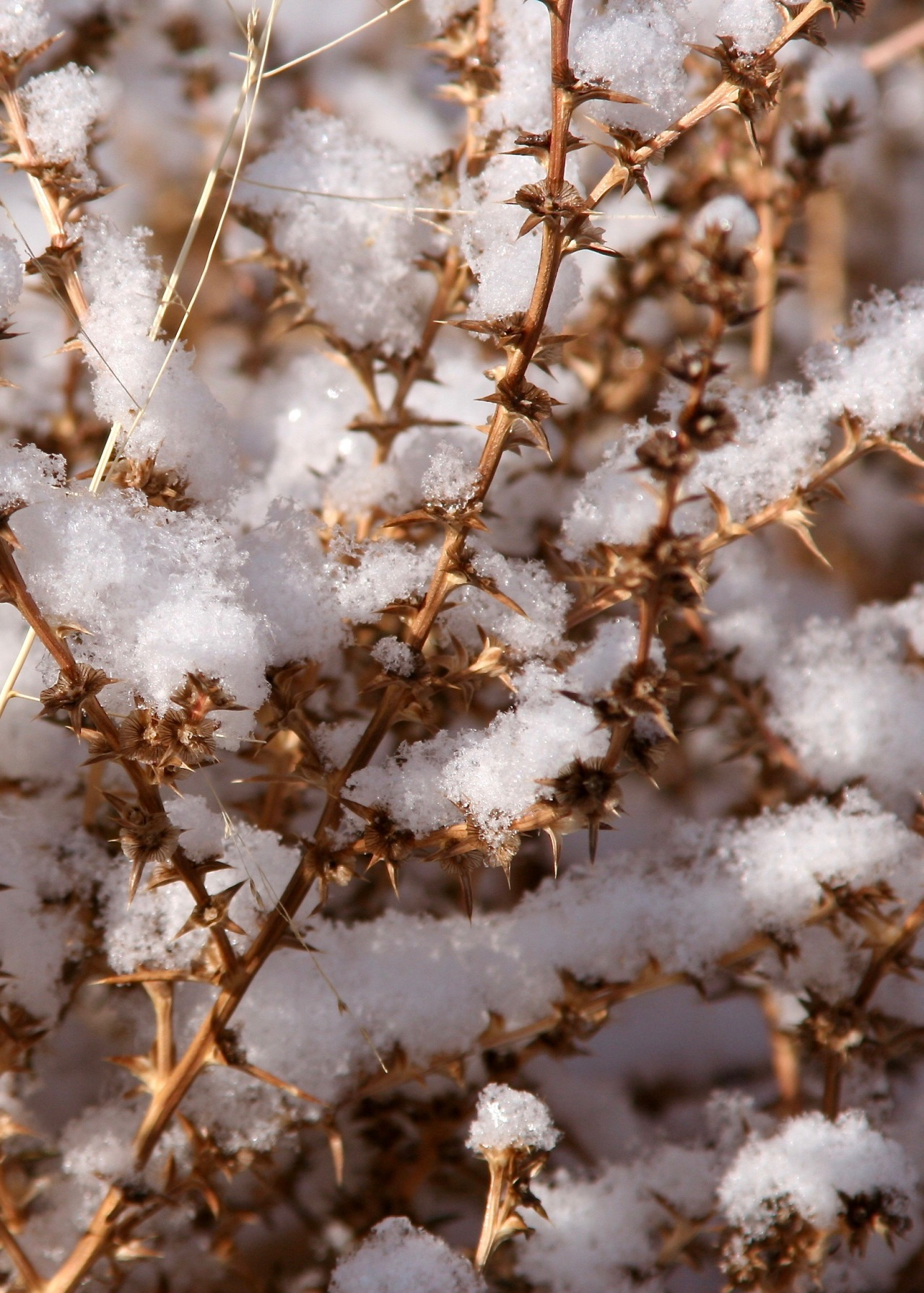 Snow Tumbleweed Balmorhea SP TX 11-2006