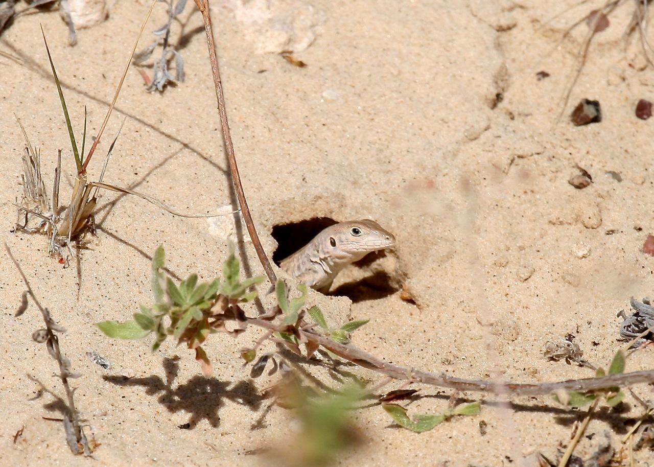 Whiptail Monahan Sandhills SP TX 10-2007