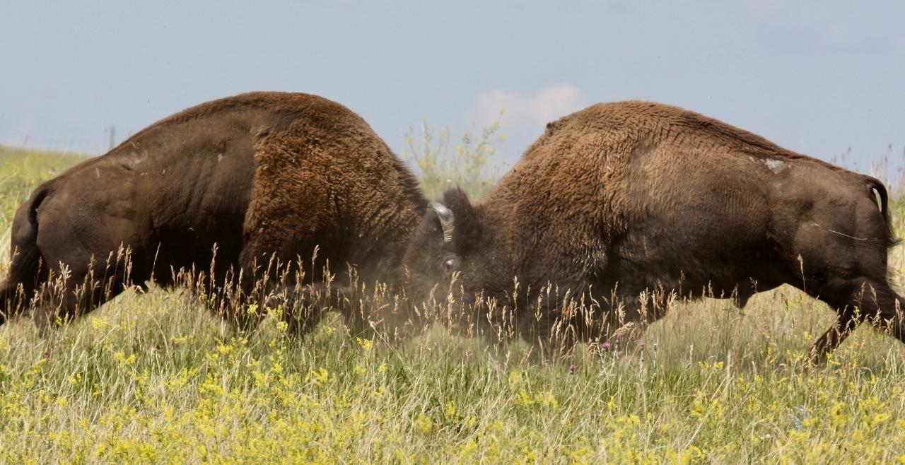 Bison Battle 6