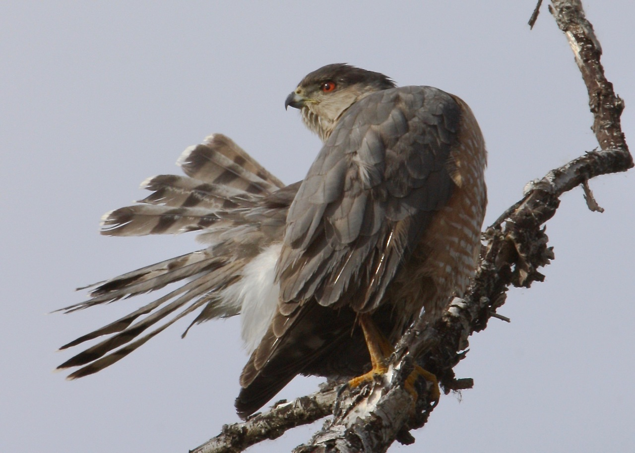 Cooper's Hawk - Preening   Accipiter cooperii