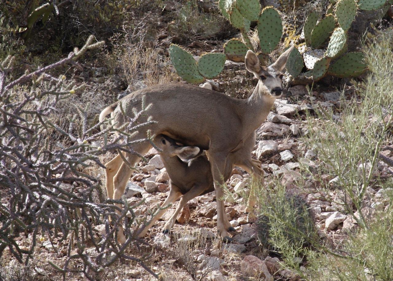 Mule Deer Nursing TMP AZ 11-2009