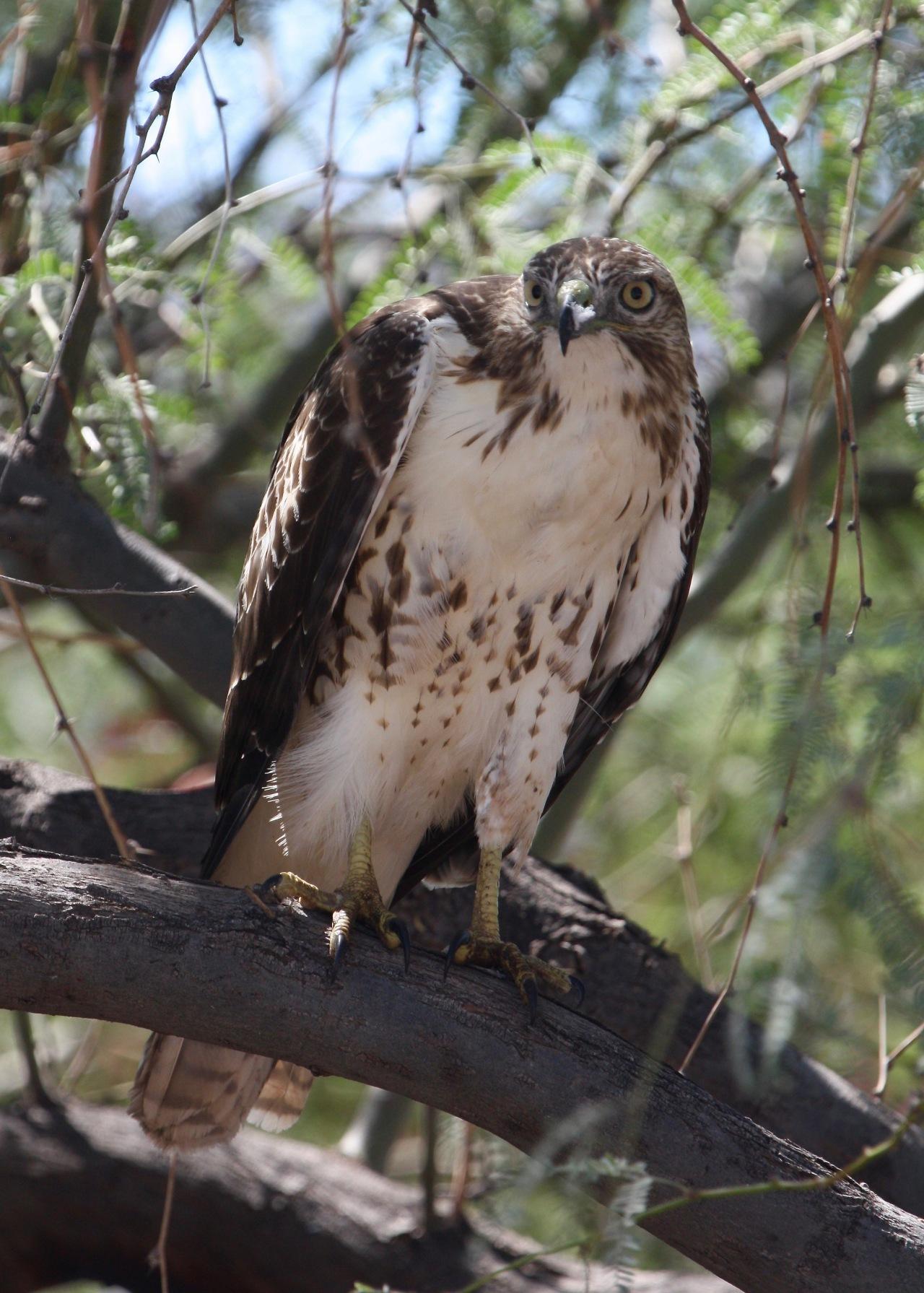Red-tailed Hawk - Juvenile Buteo jamaicensis