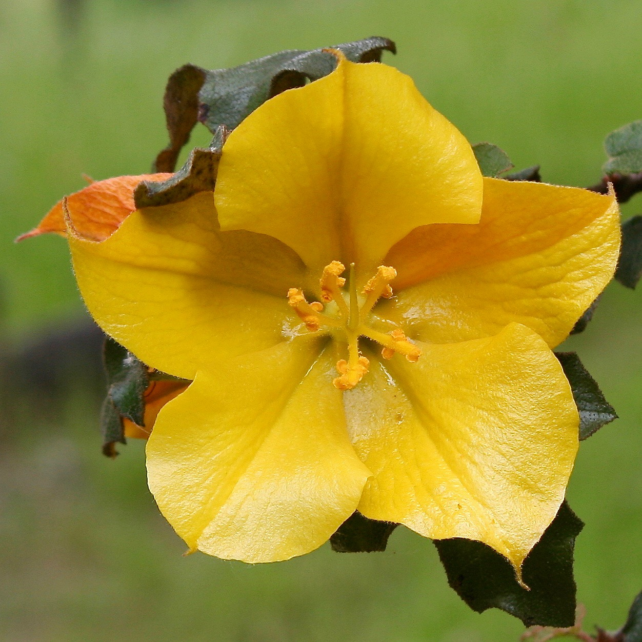 California Flannelbush (Fremontodendron californicum)