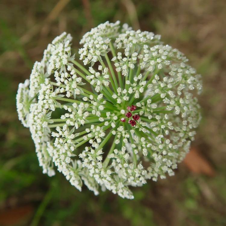 Queen Anne's Lace with Red Heart