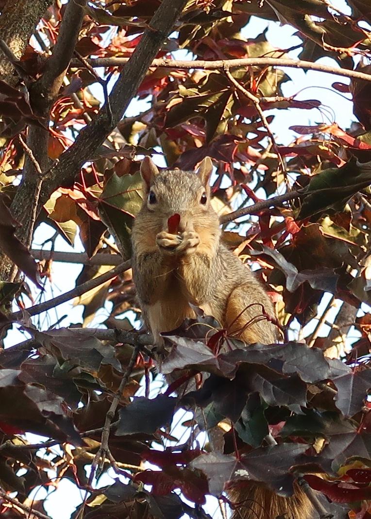 Whitefish Squirrel