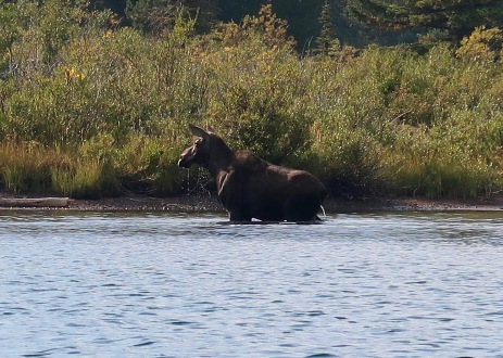 Moose Peeing in Swiftcurrent Lake
