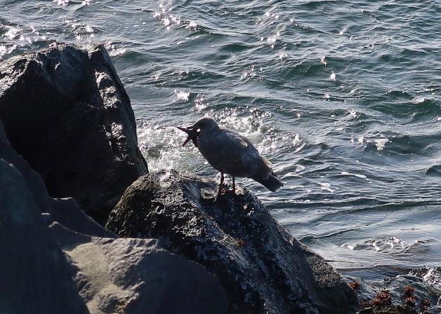 Gull with Seastar
