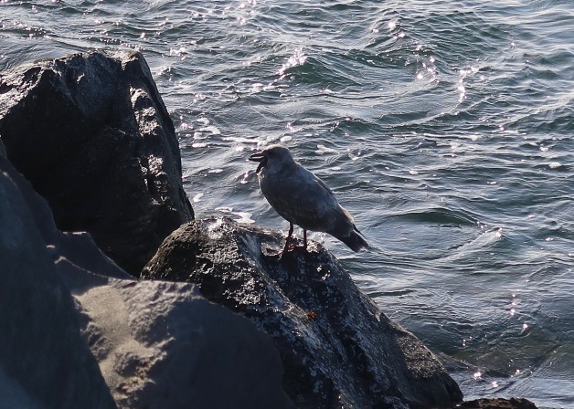 Gull Choking Down Seastar