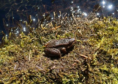 Cascade Frog