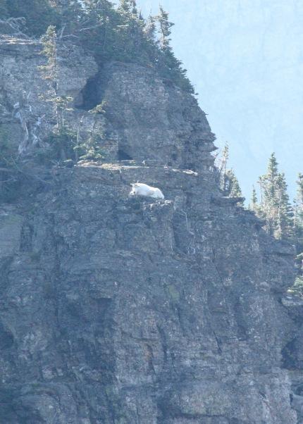 Mountain Goat Sunbathing