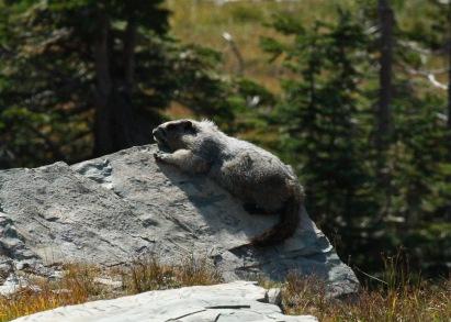 Sunbathing Marmot