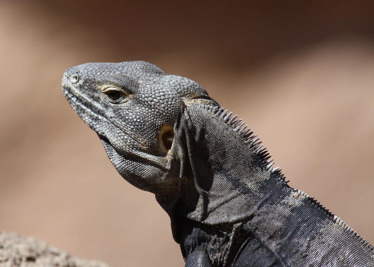 Lizards ASDM Tucson AZ 03-2014